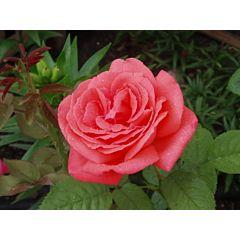 Роза чайно-гибридная Монтэзума (Професійне насіння)