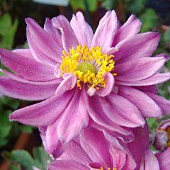 Анемона Mont Rose, 1 корень, Florium