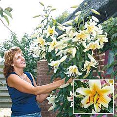 Лилия Mister Cas, 3 луковицы, Florium