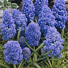Мускари Blue Spike,  Florium