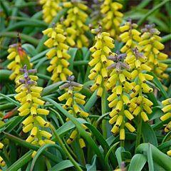 Мускари Golden Fragrance,  Florium