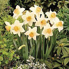 Нарцисс Accent,  Florium