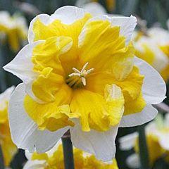 Нарцисс Cassata,  Florium