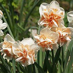 Нарцисс Delnashaugh,  Florium