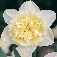 Нарцисс Ice King,  Florium