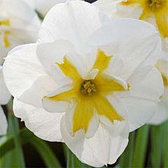 Нарцисс Lemon Beauty,  Florium