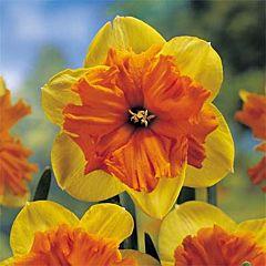 Нарцисс Mondragon,  Florium