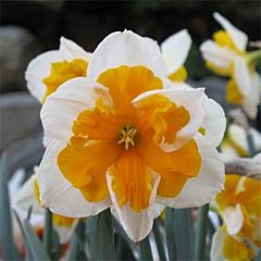 Нарцисс Orangery,  Florium