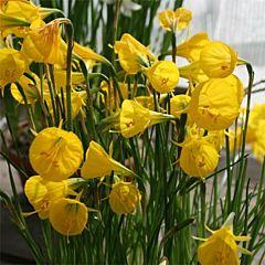 Нарцисс Oxford Gold,  Florium