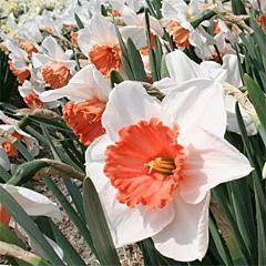 Нарцисс Pensioner,  Florium