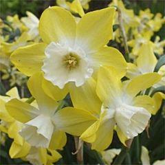 Нарцисс Pipit,  Florium