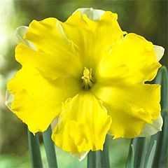 Нарцисс Pretty in Yellow,  Florium