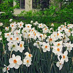 Нарцисс Recurvus,  Florium