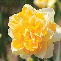Нарцисс Sweet Pomponette,  Florium