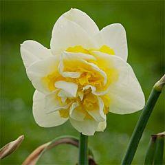 Нарцисс Unique,  Florium