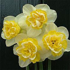 Нарцисс Wave,  Florium