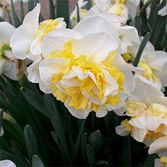 Нарцисс Westward,  Florium