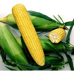 НОА F1 / NOA F1 - Кукуруза, Pop Vriend Seeds B.V. (Hazera)