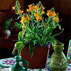 Орнитогалум Dubium Oranje,  Florium