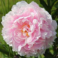 Пион Sarah Bernhardt,  Florium