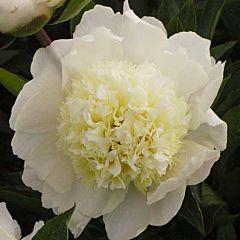 Пион Charle's White,  Florium