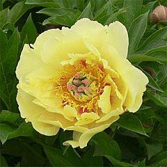 Пион ITOH Garden Treasure,  Florium
