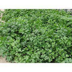 ГИГАНТЕ ДЕ ИТАЛИЯ / GIGANTE DE ITALIA - Петрушка листовая, Tezier (Професійне насіння)