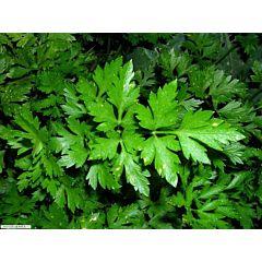 МАЭСТРО / MAESTRO - Петрушка листовая, Anseme (Професійне насіння)