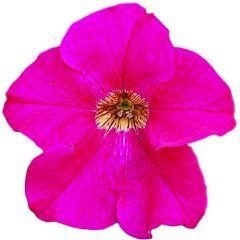 Петуния крупноцветковая Eagle Rose F1, Sakata