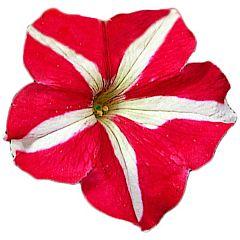Петуния крупноцветковая Falcon Red & White F1, Sakata