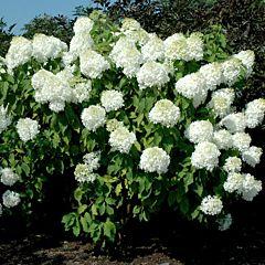 Гортензия Phantom, 1 корень, Florium