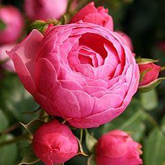 Саженцы роз кордес Pomponella (Помпонелла)