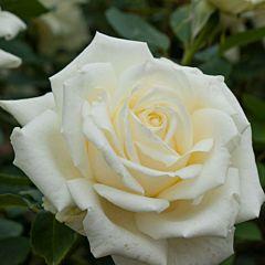 Саженцы роз чайно-гибридная White Symphony (Уайт Симфони)