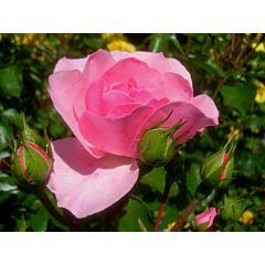 Саженцы роз полиантовая Bonica (Боника)
