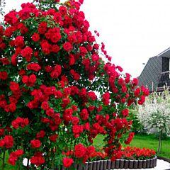 Саженцы роз плетистая Flammentanz (Фламентанз)