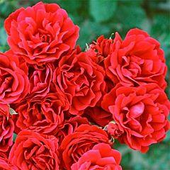 Саженцы роз чайно-гибридная Symphaty (Симпати)