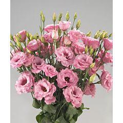 Роза (Эустома) Rosita® 1 Pink Picotee F1, Sakata