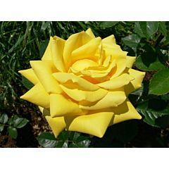 Саженцы роз чайно-гибридная Berolina (Беролина)
