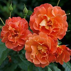 Саженцы роз парковая Westerland (Вестерленд)