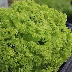 ЛЕОНОРА / LEONORA - Салат, Wing Seed, 30 штук семян (Професійне насіння)