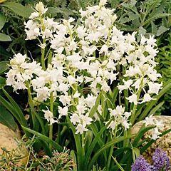 Пролеска Siberica Alba,  Florium