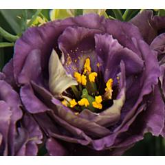 Роза ( Эустома ) Grandiflorum Rosanne 1 Black Pearl F1, Sakata