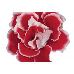Глоксиния Brocade Red & White F1, Sakata
