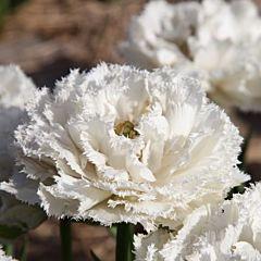 Тюльпан Snow Crystal,  Florium