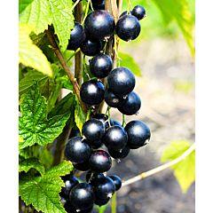 Саженцы смородины Сокровище, черная раннеспелая (Професійне насіння)