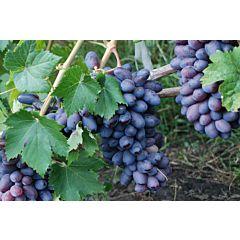 Саженцы винограда Байконур