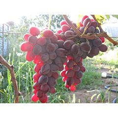 Саженцы винограда Рубиновый Юбилей