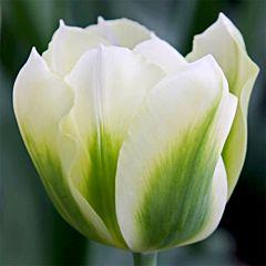 Тюльпан Spring Green,  Florium
