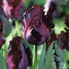 Тюльпан Black Parrot,  Florium
