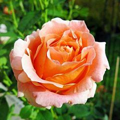 Саженцы роз парковая Polka (Полька)